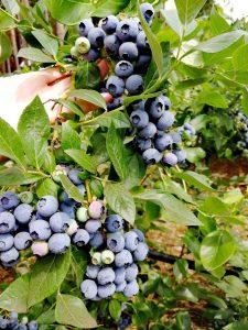 Dicke Früchte an den mannshohen Heidelbeerpflanzen.