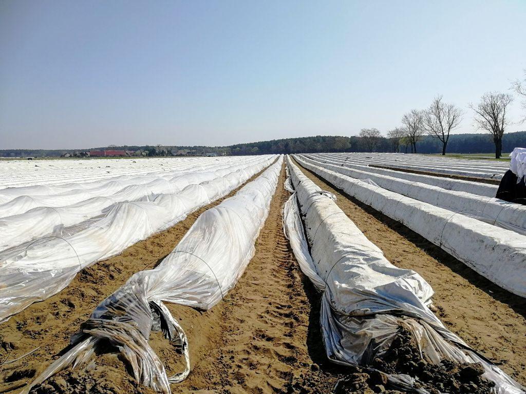 Unter den Folien wächst der Spargel vor Frost geschützt heran.