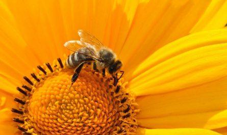 Wildbienen sind vom Aussterben bedroht.